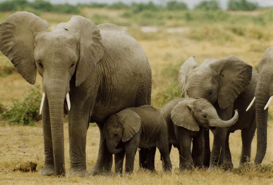 hearing-aids-audicus-elephants-sound-infrasound