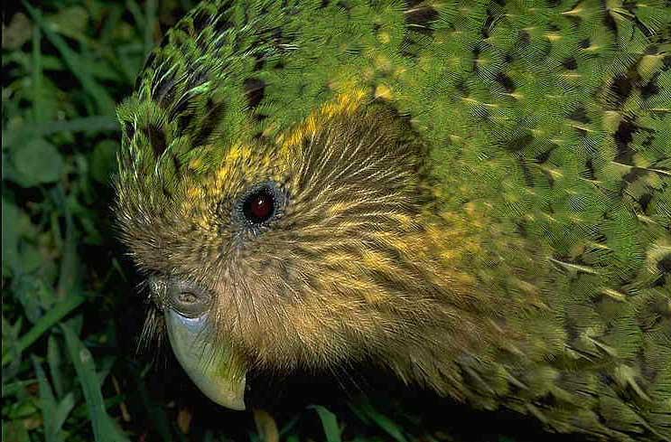 kakapo - loud - sounds - hearing - loss - aids - animals