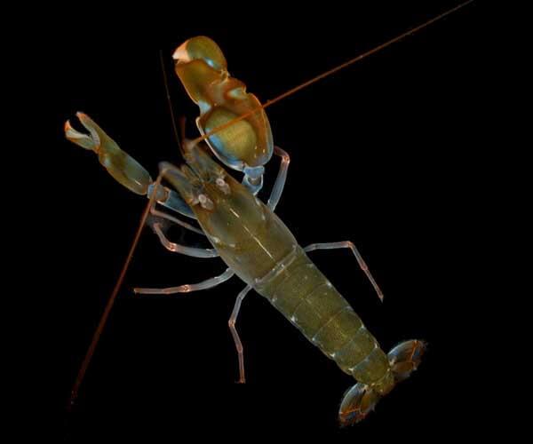 pistol - shrimp - sound - hearing - loss - aids